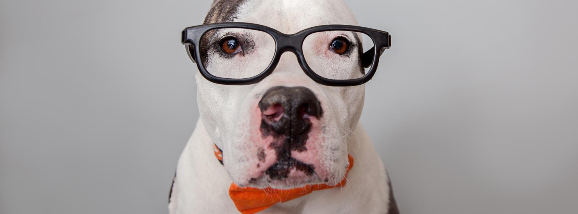 White dog wearing black rimmed glasses