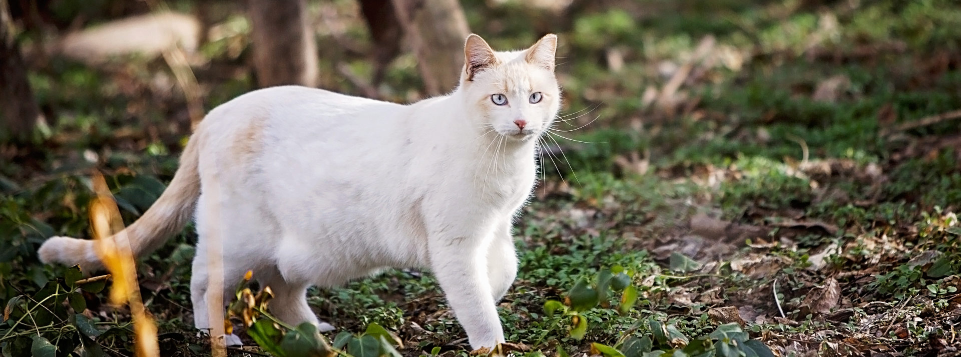 White community cat standing in woods
