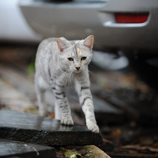 Light gray and black tabby cat walking behind parked car