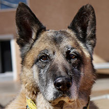 Guardian the German shepherd dog