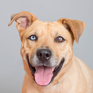 Smiling tan dog with two different colored eyes