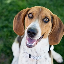 Brown and white hound dog looking at camera with mouth open
