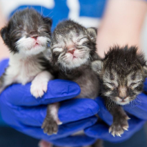 Three underage kittens with eyes closed being held in gloved hands