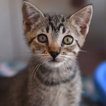 Gray and black tabby kitten looking at camera
