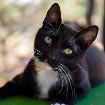 Black and white cat looking at camera with head tilted to the right lying on green blanket
