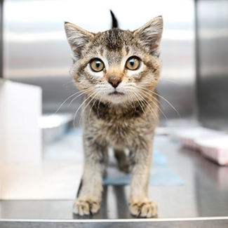 Tabby kitten standing in a kennel