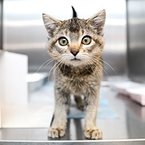 Tabby kitten in a stainless steel kennel