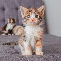 Brown gray and white kitten sitting on gray chair with another kitten in the background