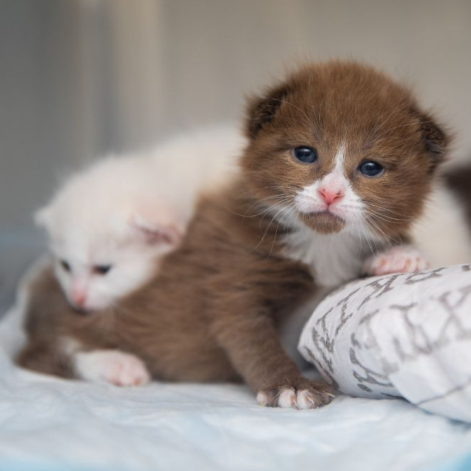 Two neonate kittens use a heating pad in a kennel