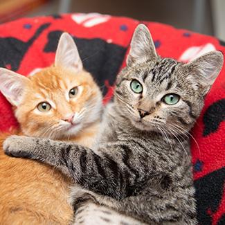 A brown tabby kitten hugging an orange tabby kitten on a bed