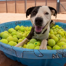 Black and white dog in pool filled with tennis balls