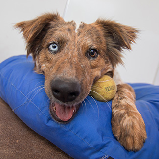 Brown and white dog with a brown eye and blue eye, lying on a blue bed next to a toy ball