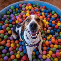 Tan and white beagle sitting in blue pool filled with multi-colored plastic balls