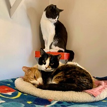 Black and white cat standing above two cats lying together in beige cat bed