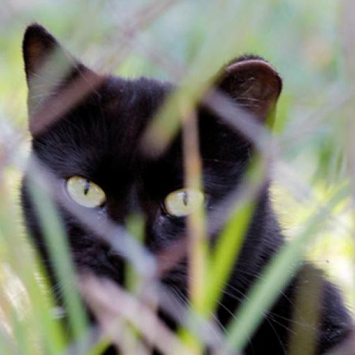 A black cat with an ear tip peers through grass