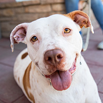 Brown and white pit bull type dog with tongue out