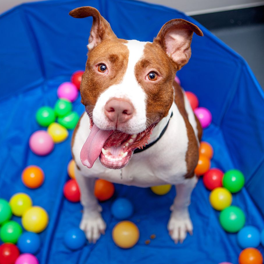 A pit-bull-type dog sits in an empty pool with plastic balls