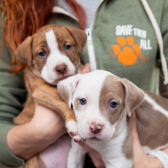 Brown and white pit bull type puppies