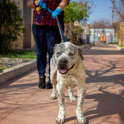 large dog being walked on leash by staff member