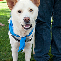 White dog in blue bandana next to person's legs