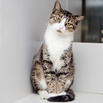 Tabby cat standing up