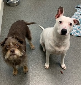 Scruffy dark brown dog standing next to white dog with left ear up