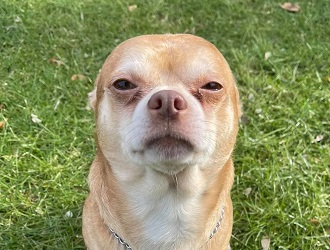 Tan chihuahua standing in grass looking at camera with squinted eyes