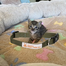 Tabby kitten sitting inside of green collar