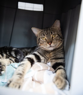 Tabby cat lying with front paws stretched out in carrier