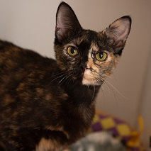 Black and brown part brindle cat