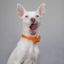 White dog with mouth open wearing orange bandana
