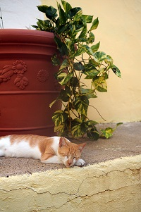 White and tan community cat sleeping in front of flower pot