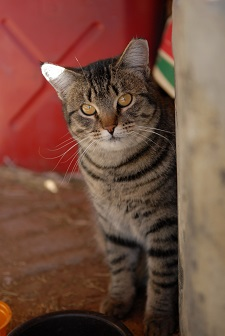 Tabby cat looking at camera from around wall