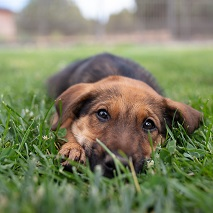 Brown and black puppy lying in the grass
