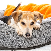 Brown and white beagle lying in gray dog bed with orange blanket