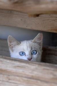 White community kitten peeking from behind wood