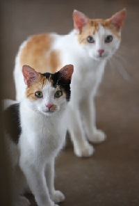 Two orange and white cats standing one in front of the other