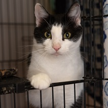 White and black cat with front paw on cage