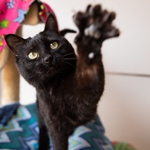 Black cat with paw stretched out towards camera