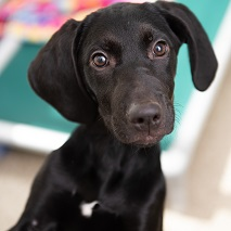 Black puppy with white spot on chest standing up with green dog hammock in background