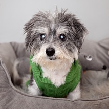 Older gray and white dog wearing green sweater lying in dog bed