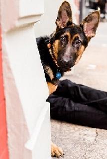 Black and brown German shepherd peeking around white wall