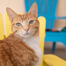Orange cat sitting in yellow chair with blue chair in background