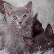 Gray kitten and black kitten lying in gray furry blanket