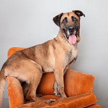 Big brown dog sitting on orange chair with rear resting on arm
