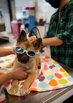 Tan dog with goggles on geting laser therapy