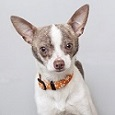 Gray and white small dog with ears up wearing orange collar