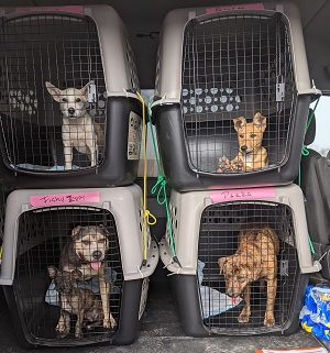 Four crates with dogs in them stacked