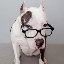 White and dark gray pit bull type dog wearing black glasses