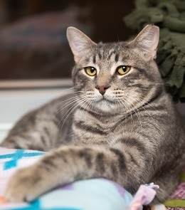 Tabby cat looking unimpressed at camera